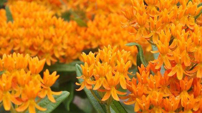 Orange milkweed is preferred by many gardeners over common milkweed because of its bright orange color and compact growth habit.