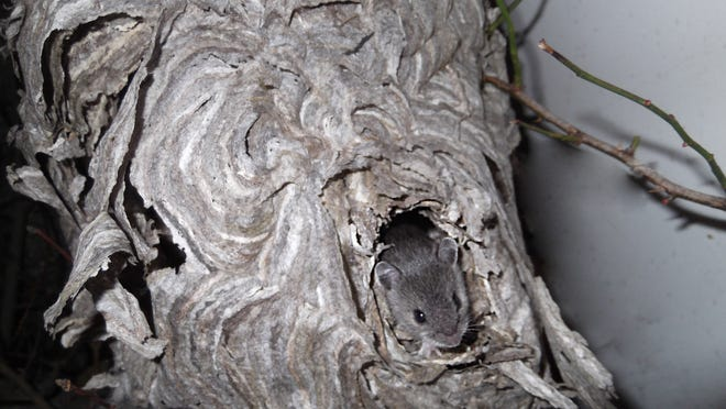 A young deer mouse peers out from the white-faced hornet nest it was born and raised in.