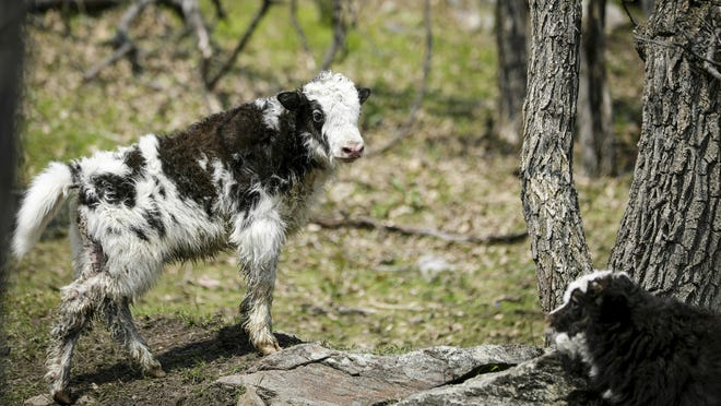 A 3-week-old yak calf finds the high ground while playing with another calf at Yak Ridge Cabins and Farmstead near Cosmos Mystery Area in Rapid City, S.D.