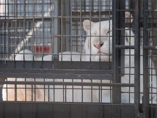 Pensacola Intersate Fair-Tigers