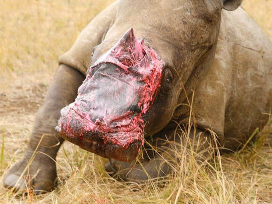 A rhino recovers in an enclosure after being treated