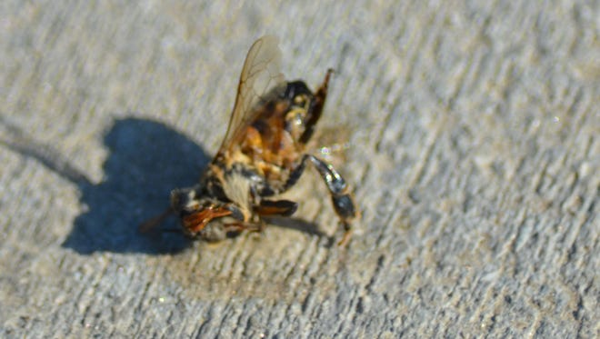 In this file photo, a dead bee lies on an Indio sidewalk Tuesday, July 24, 2012. The victim of a fatal bee swarm attack in Riverside was identified today as a 49-year-old man from Los Angeles.