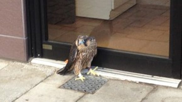 Schatzi the falcon at Enzo's Pizza