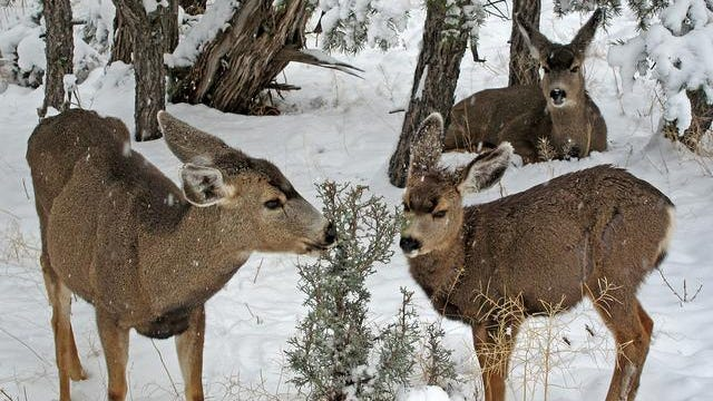Deer like to feast on evergreens in the winter.