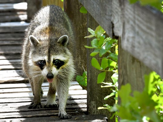 Raccoons are wily. That is causing chaos at South Avondale Elementary School, as one has locked itself in a closet at the school, prompting officials to call off classes.