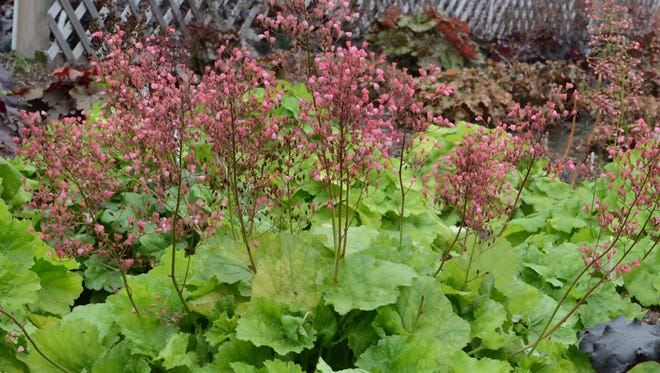 Pretty Pistachio huechera (coral bells)