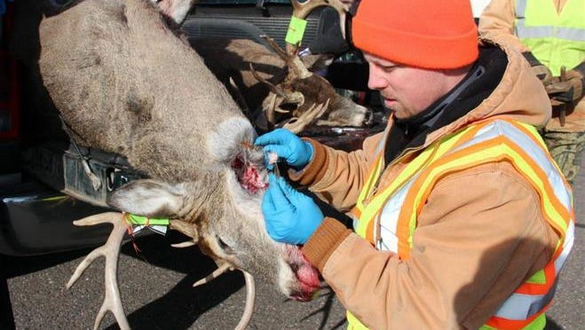 Tom Carlson, a biologist with the Wisconsin Department of Natural Resources, holds a lymph node taken from a deer at a chronic wasting disease check station in 2013.