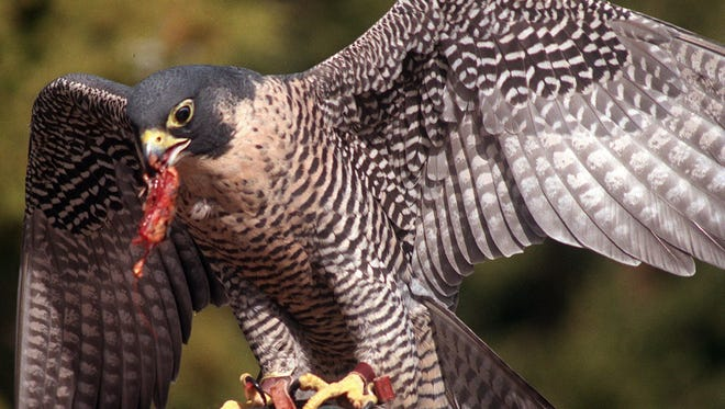 A peregrine falcon at Animal Ark.
