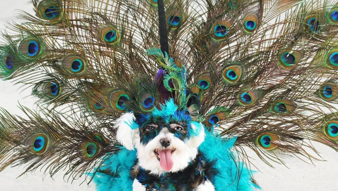"""FLORIDA TODAY FILE This ?proud peacock? was the winner of the costume contest at Mardi Gras Paws in the Park in February. The Brevard Humane Society will host its 13th annual Paws in the Park from 10 a.m. to 2 p.m. Oct. 31 at Wickham Park Pavilion at Eastern Florida State College's Melbourne campus. Sponsorship opportunities are available for individuals and businesses. FLORIDA TODAY FILE Lavishly costumed dogs are a common sight at Mardi Gras Paws in the Park. This """"proud peacock"""" was the winner of the costume contest. Zoe, a Maltese, is owned by Scott and Sherrie Smith, of Clermont. Central Brevard Humane Society hosted the Mardi Gras Paws in the Park Sunday at Riverfront Park in Cocoa. Photos by TIM SHORTT/ FLORIDA TODAY Proud Peacock. Winner of the costume contest was """"Zoe"""", the Maltese, owned by Scott and Sherrie Smith, of Clermont. Central Brevard Humane Society's Mardi Gras """"Paws in the Park"""" on Sunday, February 23rd at Riverfront Park in Cocoa Village. The event included a dog parade, a costume contest , best pet trick, pet / companion Look-a-Like, and King and Queen of the Park."""