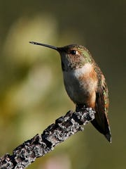 A female rufous hummingbird is a rare winter site.