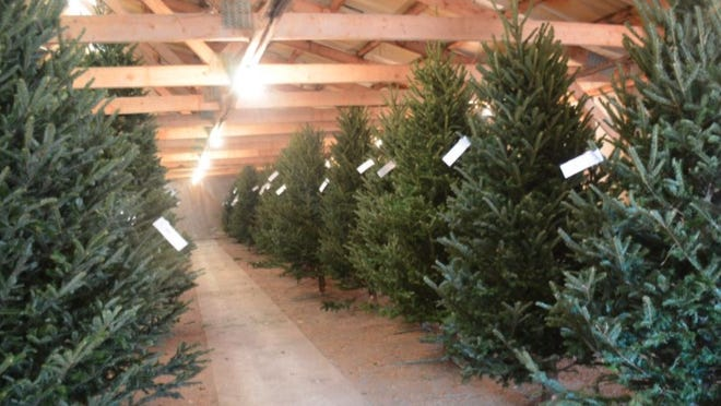 Thinking of a real tree for Christmas decor this year?