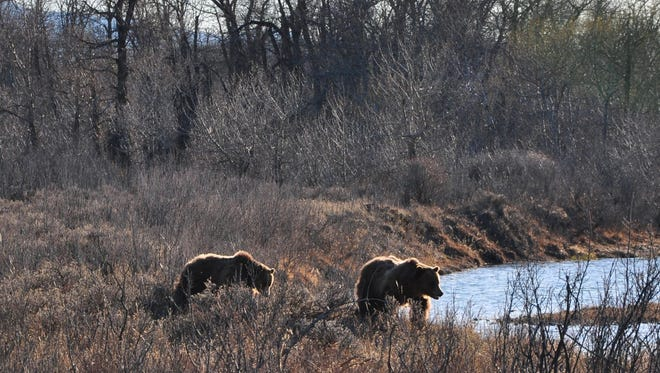 Two sub-adult grizzly bears were seen on Don and Ida Vanden Bos' ranch in April. They live out of Valier.
