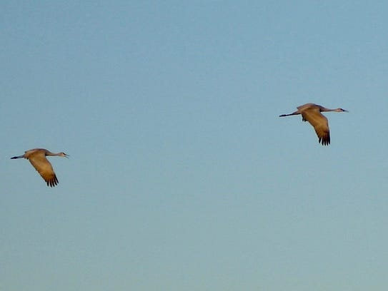 Sandhill cranes seek breakfast while soaring above