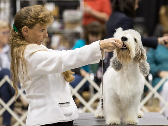Julie Lacie-Black positions 4-year-old Chief, a Petit Basset Griffon Vendeen just before being judged.