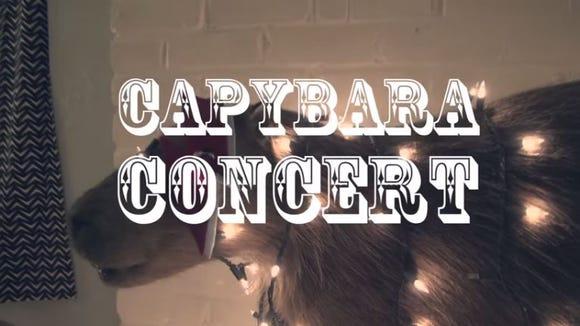 The Capybara Concert series spotlights local musical artists, in front, of course, a capybara.