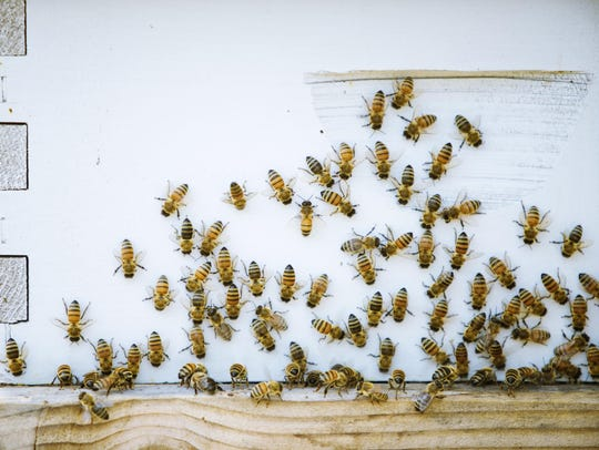 Honey bees crowd around the entrance of one of the
