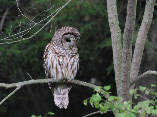 A barred owl illustrates front-facing eyes, like human eyes, giving them binocular vision; but because birds' eyes are fixed in their heads, all birds, including owls, must move their heads in order to change the direction of their gaze.