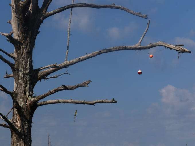 Fishing bobbers hang from a dead Cypress tree at Black