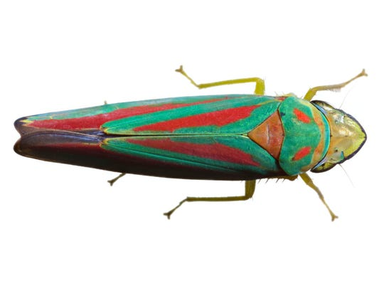 Candy-striped Leafhopper (Graphocephala coccinea). From One Cubic Foot of the Genesee River, Rochester, New York