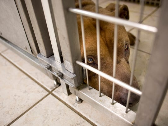 A pit bull being held as a stray is seen laying in a cage Tuesday, Dec. 8, 2015 at St. Clair County Animal Control in Port Huron Township.