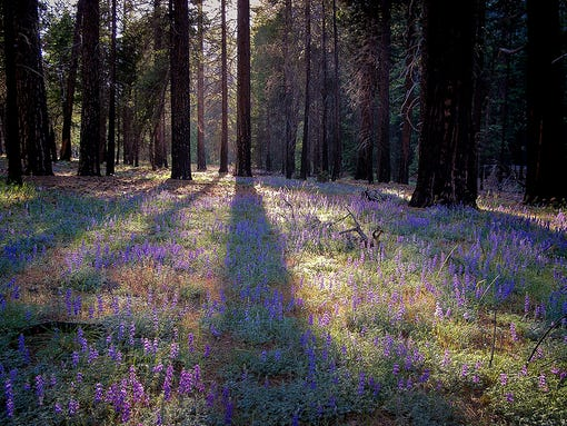 Check out this meadow filled with beautiful lupine flowers in Yosemite National Park in Madera, Calif.