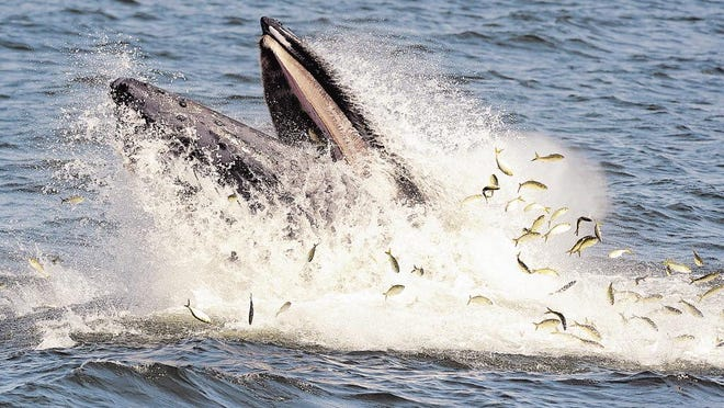 A humpback scooping up a school of menhaden off the Jersey Shore. The population of this bait fish has exploded in recent years off the Atlantic Coast, drawing whales closer to shore.