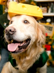 Lambeau the dog wears a cheese head at the home of