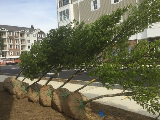 Saplings wait to be planted at Haddon Towne Center in Westmont.