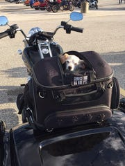 Sadie sits in the back of a trike ready to head out on a road trip with her U.S. Army vet.