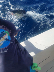 The blue marlin caught and released by Eric and Caitlyn