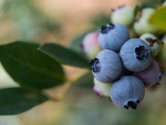 Blueberries at Covered Bridge Berry Patch on River