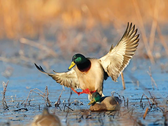 Nearly 2 million ducks following the Mississippi Flyway