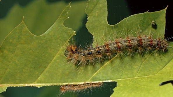 A gypsy moth caterpillar gnaws on an oak leaf, Cape