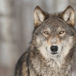 A gray wolf was shot and killed April 29 near Kremmling by a legal coyote hunter. The U.S. Fish and Wildlife Service announced Thursday that DNA tests at its Forensics Laboratory in Ashland, Oregon, were used to confirm the species. The gray wolf is listed as an endangered species under state and federal law.