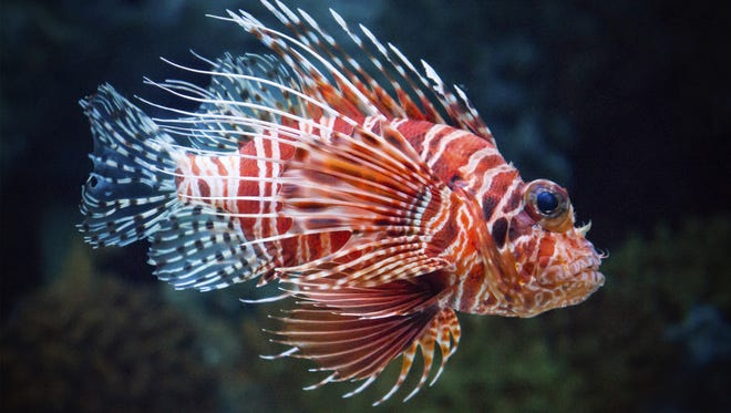 Red lionfish are strikingly beautiful but have no known predators in the Atlantic and Gulf of Mexico.