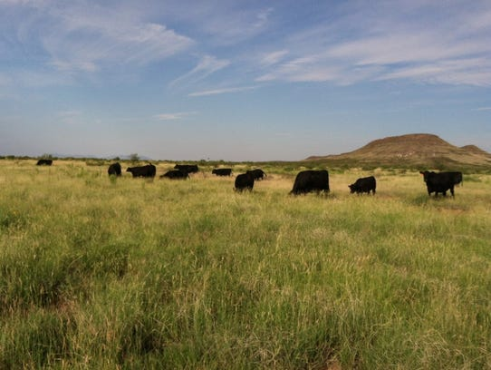 Cattle feed on the Carrasco ranch at the western edge
