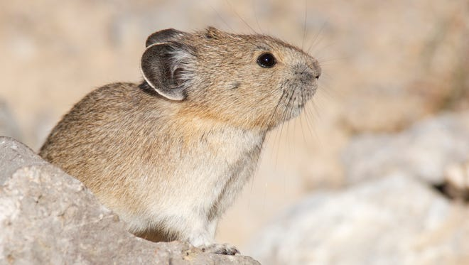 Researchers say the effects of climate change could make the pika extinct in Rocky Mountain National Park by the end of the century.