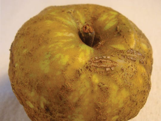 The Knobbed Russet is a variety of apple that doesn't have the right look for traditional retail.