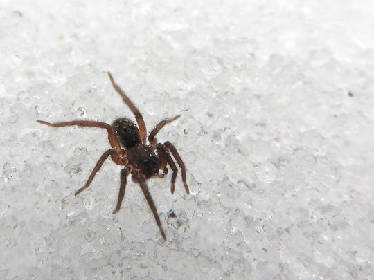 Wolf spiders remain active all winter, and this one collected fog on its bristly hairs.