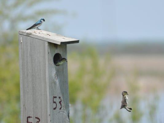 636229322772216053-Wood-duck-nest-boxes-2.jpg