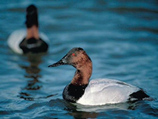 Canvasback ducks stop over in Maryland during their