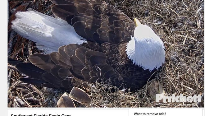 Southwest Florida's most beloved pair of bald eagles is expecting, and the births — expected between Christmas and New Year's Day — can be watched live on camera.
