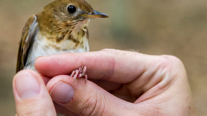 Alan Kneidel holds a veery after catching the bird in White Clay Creek State Park on Monday morning.