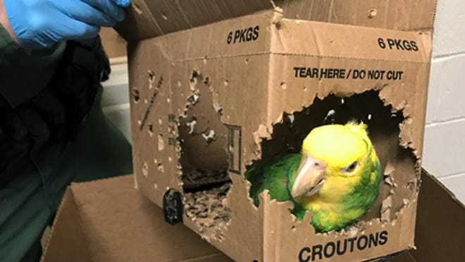 One of seven parrots allegedly smuggled into the United States at Derby Line, Vt, is pictured. Jafet Rodriguez of Pennsylvania was arrested and was due in federal court on Thursday to face charges he smuggled the parrots into the United States by carrying them across the Quebec-Vermont border.
