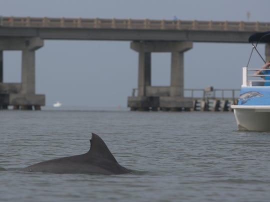 A dolphin surfaces in Big Carlos Pass on Friday 4/8/ 2011.   Kayaking is a good way to see the popular mammal.