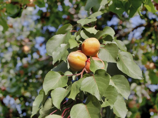 Apricot trees should be pruned in summer.