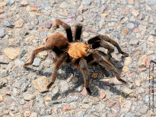 The desert tarantula is part of the family of spiders called Hairy Mygalomorphs that scientists think have been around for millions of years without much change. The males are on their annual march to find a mate and unfortunately, probably a fatal attraction that will end in the female killing him.