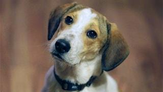 A beagle mix, not Lefty.