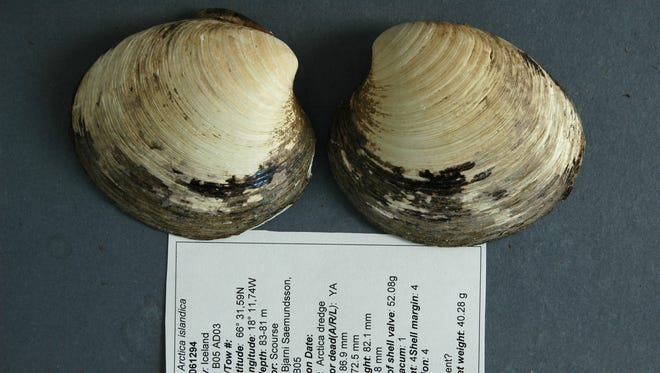 Ming, an ocean quahog from the species Arctica islandica, was initially thought to be a record-setting 402 years old. But the scientists who found it on a seabed near Iceland in 2006 now say further analysis has revealed that it was an incredible 507 years old, reports CBS.