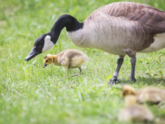A family of geese grazes near the Cardinal Greenway.